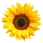 image of sunflower